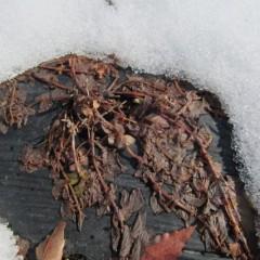 雪の下からはペパーミントの姿が