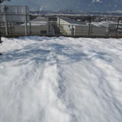 事務局前のカモマイル・ローマンは雪の下