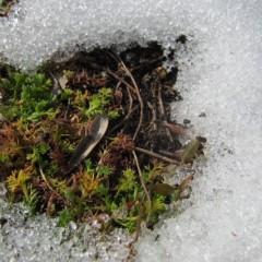 雪が溶けた畑から元気なカモマイル・ローマンが顔を出しました