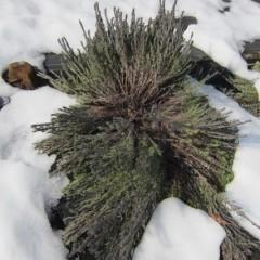 雪の重みで枝が押し潰されて株が開いてしまったラベンダー・ストエカス