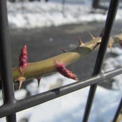 冷たい雪の中でも新芽を伸ばし始めました