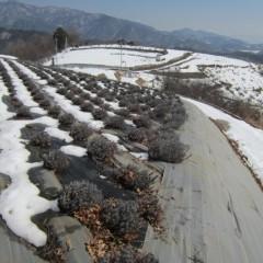 ラベンダー畑以外はまだ雪の中です