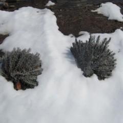 雪の重みで大きな株の枝は倒れています