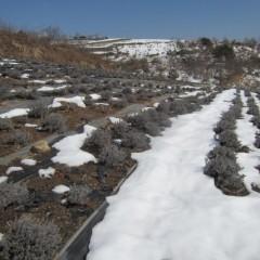 グロッソ&スーパーの畑はまだ雪の中です