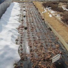 ペパーミントの畑はまだ少し雪が残っています