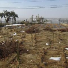 事務局前のローズ畑はすっかり雪融けしました