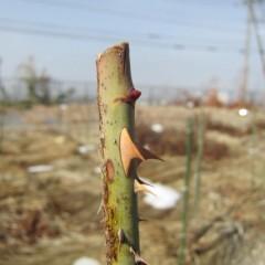 大雪に耐えた芽はまだ固いままです