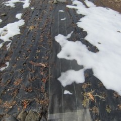 アルベンシスミントの畑も雪は溶けています
