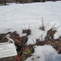 スペアミントの畑はまだ雪がいっぱい