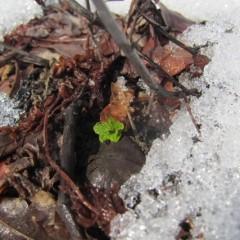 雪融けした畑から出て来た新芽が輝いていました