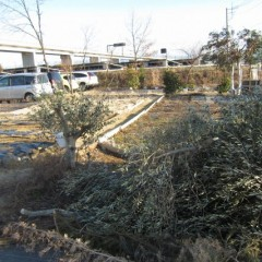 折れた幹とバランスを取るため伸びすぎた枝も切り落としました