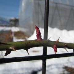 寒さで柔らかい若葉の先端が傷まないと良いのですが