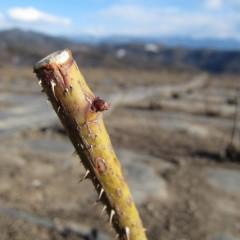 農場のローズの芽はまだ固い芽鱗に守られています
