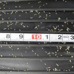 カモマイルの種は非常に細かい種子です