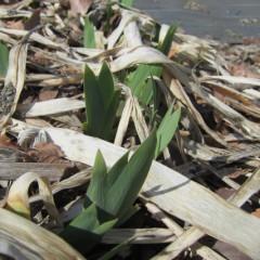 3年以上育てた根を乾燥させて香料を採ります