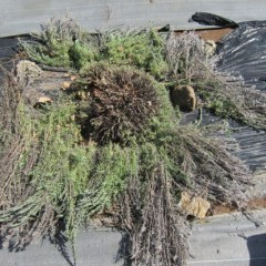 倒れた枝を含めて刈り込みました