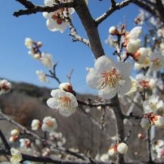 農場の梅が咲き始めました