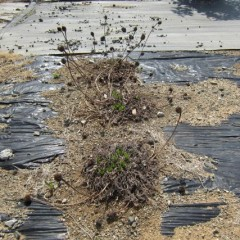 エキナセアの芽が出て来ました