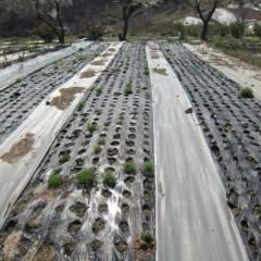 越冬した苗は大きく育ち始めています