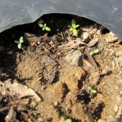 雨で種が流れたのか端の方に集まって発芽していました