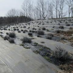 農場のラベンダー畑も剪定の始まりです
