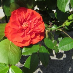 最初のひと咲きはオレンジメイアンディナ