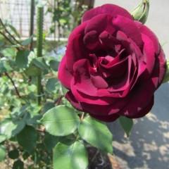 観賞用のルイ14世はビロードの様な花が特徴です