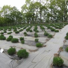 緑一面のラベンダー畑
