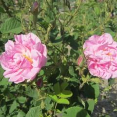 匂い立つダマスクローズの花