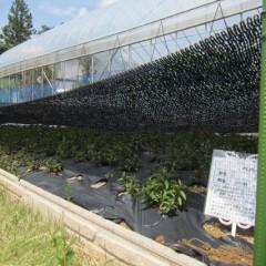 葉焼けや乾燥からペパーミントを守ります