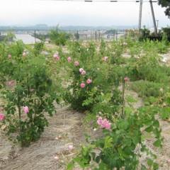 毎朝沢山の花が咲いています