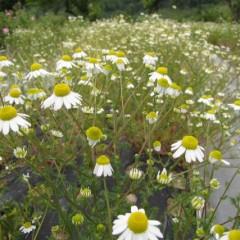 花の下には3番花の蕾も見えます