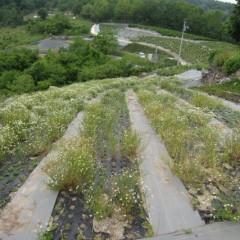 こちらはの畑は若干花がまばらです