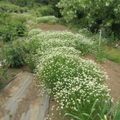 畑の脇にこぼれ種で咲いたカモマイル・ジャーマン