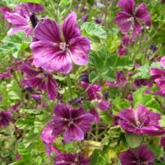 コモンマロウは花盛り