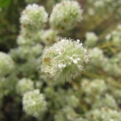 綿帽子のようなふわふわの花です