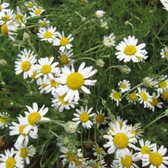 ジャーマンよりも2周り程大きな花です