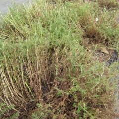 ローマンは茎ごと収穫します