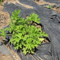 6月中旬に植えたローズゼラニウム