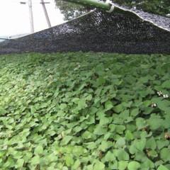 遮光ネットの下ではドクダミが重なる様に茂っています