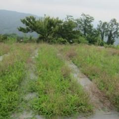 梅雨の間に雑草が伸び放題になったカモマイル・ジャーマン畑