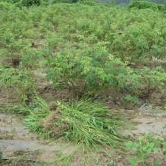 大量の雑草を畑の外に運び出すのもまた重労働です