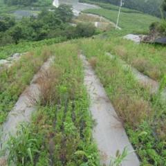 無農薬栽培では真夏の戦いが始まります