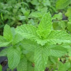 緑鮮やかなスペアミント