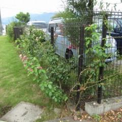 フェンスに這わせたつるバラの剪定をしました