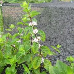 アルベンシスミントの花