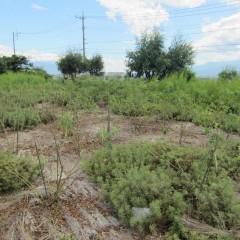 スッキリしたナード・ジャパン事務局前のダマスクローズ畑
