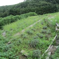 ローズ畑の除草が一段落と思ったらラベンダー畑がご覧の通り