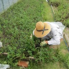 ついでに雑草も取り除きます