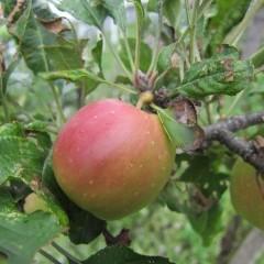 ピンポン球位ですがいっちょ前にリンゴです